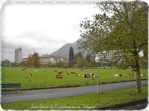 experiencias-de-viagens-Interlaken-pastagem
