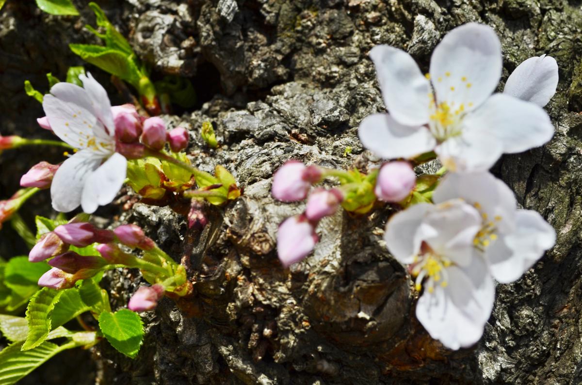 experiencias-de-viagens-dc-cherry-blossom