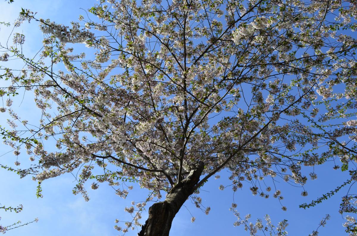 experiencias-de-viagens-dc-festival-cerejeira