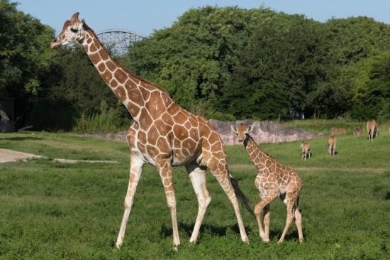 experiencias-de-viagens-busch-gardens-tampa-giraffas