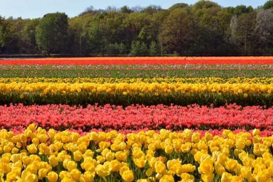 experiencias-de-viagens-amsterdam-campos-de-tulipas