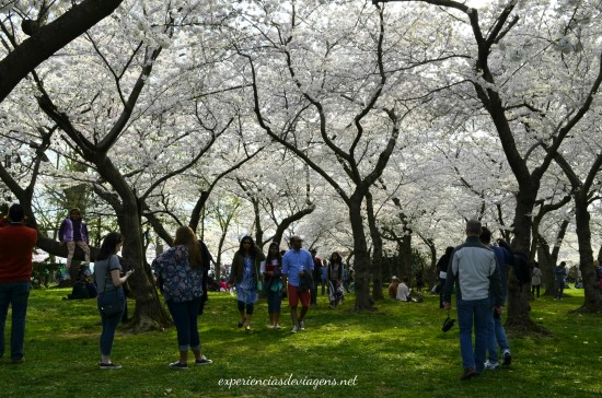 experiencias-de-viagens-cerejeiras-arvores