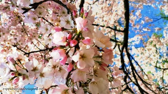 experiencias-de-viagens.cerejeiras-blossom